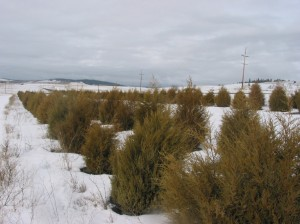 For the past decade, WSU's Living Snow Fence has survived and thrived near Davenport. The fence was planted in 2003 to show that Great Plains-style live windbreaks can grow in eastern Washington. (Photo by Andy Perleberg, WSU Extension)