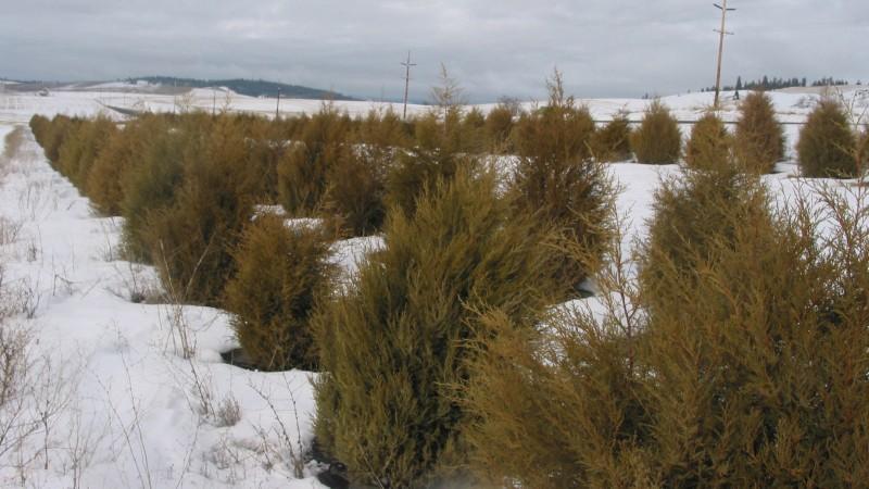 Davenport Snow Fence crop
