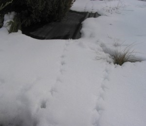 Pheasant tracks show that wild birds find cover at the living fence in winter. (Photo by Andy Perleberg, WSU Extension)