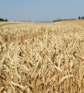 Wheat-Spillman-web Crop
