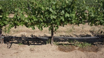 Partial rootzone drying – two emitters deliver water to the either side of the vine's root zone. Water delivery is alternated between left and right sides of the vine.  Photo by Yun Zhang, WSU.