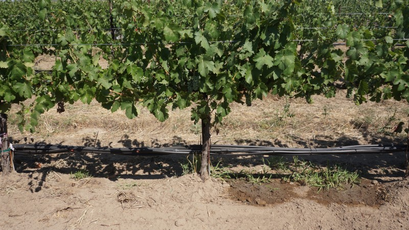 grapevines with partial root zone drying drip system
