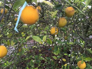 Citrus fruits like oranges infected with HLB stay green looking and are much smaller than normal fruit.