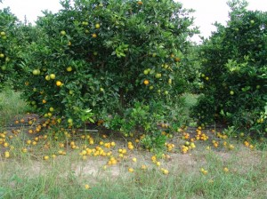 Citrus trees infected with HLB drop much of their fruit before it matures and can be harvested.