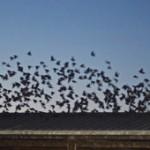 Pest birds