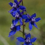 Tall larkspur, a common, poisonous plant that can kill cattle, may see significant blooms this year.