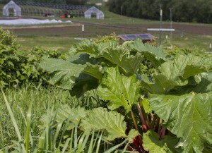 Rhubarb growing at WSU's Eggert Family Organic Farm.