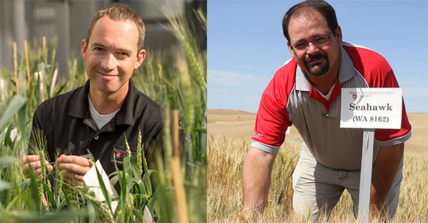 Arron Carter, WSU winter wheat breeder, and Mike Pumphrey, spring wheat breeder, are new co-recipients of the O.A. Vogel Endowed Chair in Wheat Breeding and Genetics.