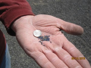 Replanting canola seed after horned lark damage is expensive for growers. (Photo by Bill Schillinger, WSU)