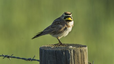 The horned lark, a common North American song bird, is decimating canola seedlings near Lind, Wash. (Photo by Francesco Veronesi from Italy (Horned Lark - Sisters - Oregon_S4E7392) [CC BY-SA 2.0 (http://creativecommons.org/licenses/by-sa/2.0)], via Wikimedia Commons)