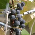 grape sizing