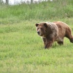 Grizzly bears have been clocked running up to 35 miles per hour. The top human speed ever recorded is 27.8 mph.
