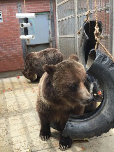 Bears search for snacks placed in enrichment toys, made by Bear Center staff and volunteers.