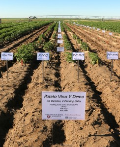 Potato research plots