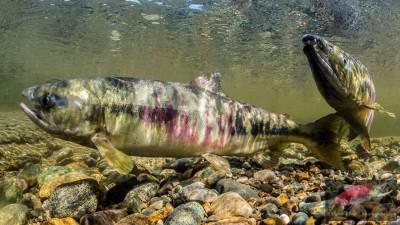 Chum salmon spawning. (Photo by Thomas Kline, Salmonography)