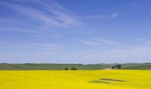 Canola is increasing in popularity among farmers in eastern Washington. It can be used for biofuels and food-grade oils.
