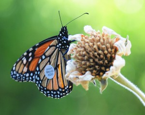 WSU's Monarch A6093 feasting in Keatley Garvey's garden after flying more than 285 miles. (Photo by Kathy Keatley Garvey)
