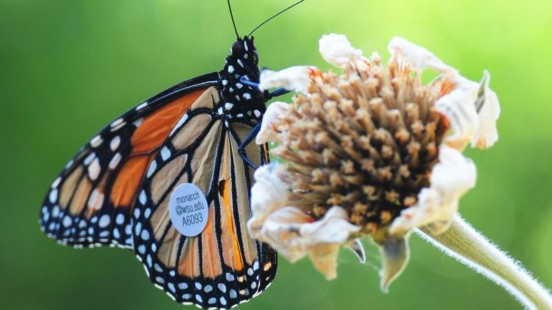 WSU's Monarch A6093 feasting in Keatley Garvey's garden after flying more than 285 miles. (Photo by Kathy Keatley Garvey)