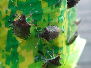 Marmorated stink bugs trapped this month in a homeowner's backyard in Yakima, Wash. They've also been trapped in parks. (Photo by Michael Bush, WSU)