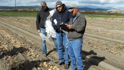 WSU scientist Mark Pavek and two Tri-State potato research colleagues check out new potato varieties in a WSU research field.