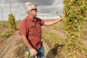 WSU hop researcher Doug Walsh at a harvested field in Prosser, Wash., in October.