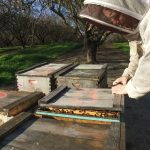 WSU researchers working bees in the California almond groves.