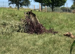 A bear stands in a pile of tree branches and leaves looking for food.
