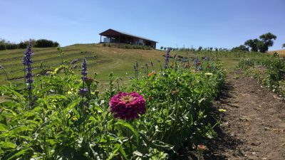 Purple flower in foreground with farm building in background