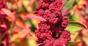 Photo of brilliantly-colored quinoa