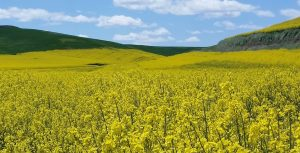 A field of bright yellow canola grows at St. John, Wash.