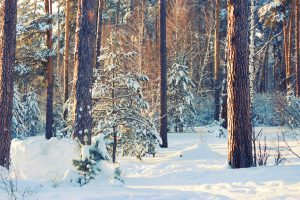 winter forest trees covered by snow and sunlight