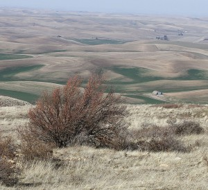 Fruit trees on the slopes of Steptoe Butte