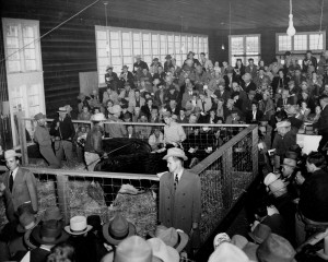 A 1950s-era purebred sale held at the Livestock Judging Pavilion, today's Ensminger Pavilion. Ringmen, standing around the edge, assist the auctioneer.