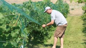 Robb Zimmel pulling netting over vines