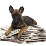 Belgian Shepherd lying on a pile of newspaper, portrait against white background