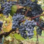 Ripatella_grapes