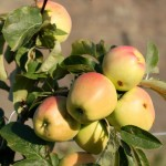 wenatchee apples