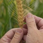 Hands holding a stalk of wheat