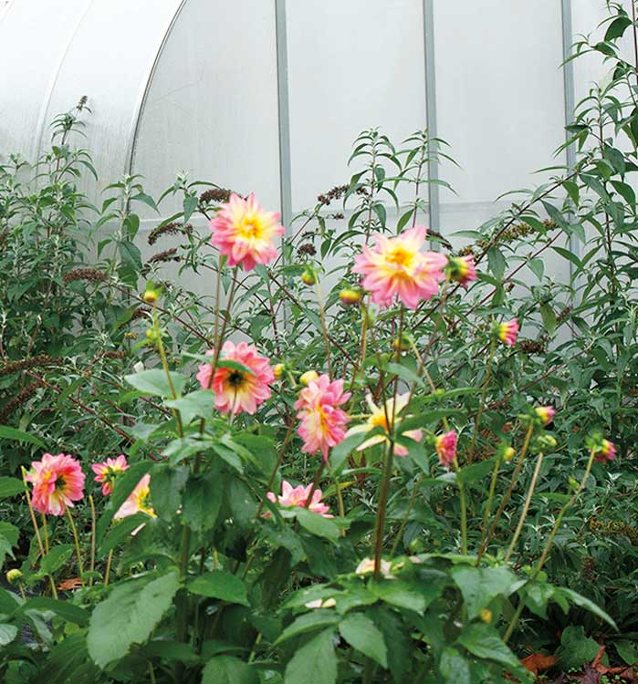 Stalks of a variety of dahlias in a small greenhouse.