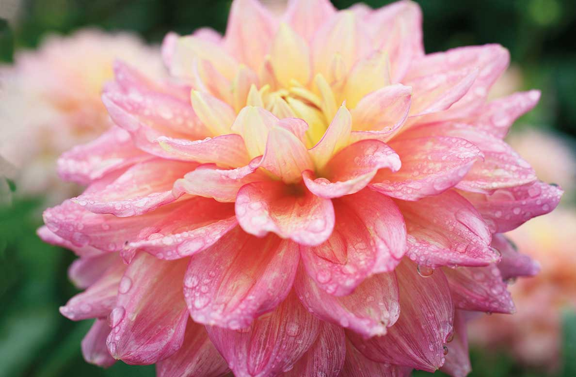A close-up photo of a dahlia bloom covered in dew drops.