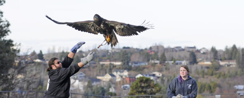 Morris, a Bald Eagle, practices flight with Devin Schell