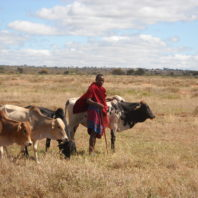 Maasai man herding cattle
