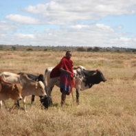Maasai man herding cattle