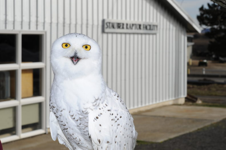Tundra, a resident Snowy Owl