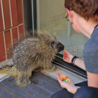 Feeding injured porcupine