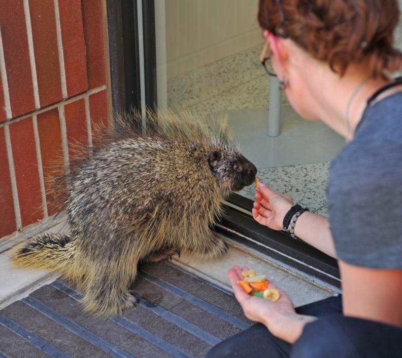 Feeding injured porcupine