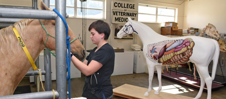 Veterinary student examining a live horse with painted horse in the background.