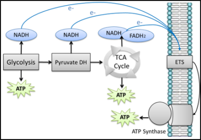 Schematic of how metabolic processes contribute to ATP production