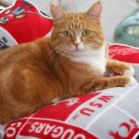 Chester lying on a WSU cougar pillow
