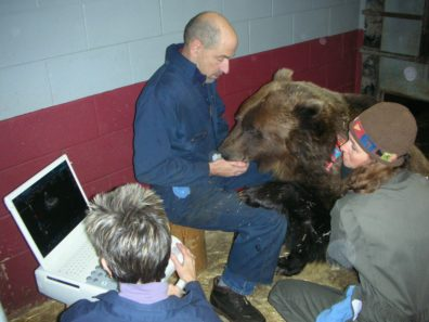 Researchers with Kio, a grizzly bear.